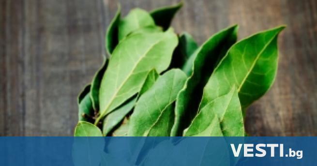 коло дафиновия лист има много митове, които могат да бъдат