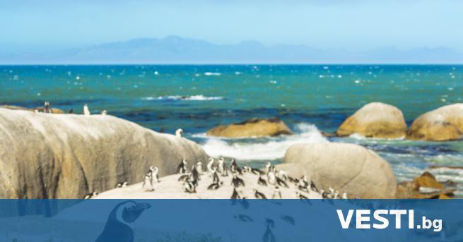 Ш естдесет и три африкански пингвина, които са застрашен вид,