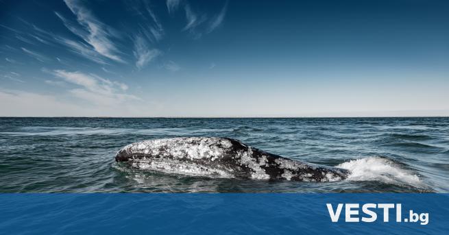 В южната част на Атлантическия океан е забелязан кит, който