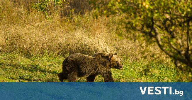 станали са по-малко от 50 кафяви апенински мечки, които живеят