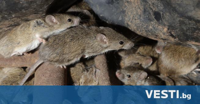 Н ашествие на полски мишки принуди австралийските власти да започнат
