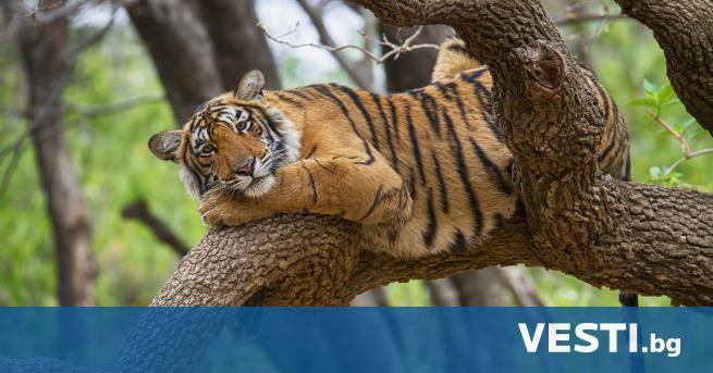 расивият, внушаващ страхопочитание тигър е едно от най-емблематичните животни на