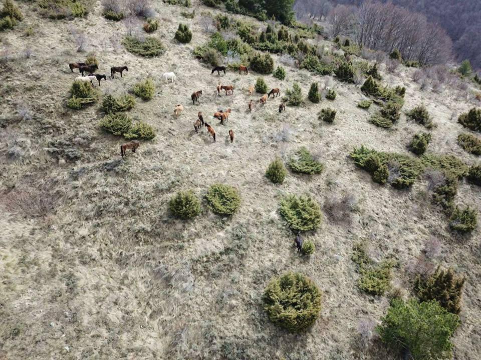 Новородено конче се появи в стадото което бе бедстващо в Осоговската планина